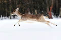 Deer-Dreamstime